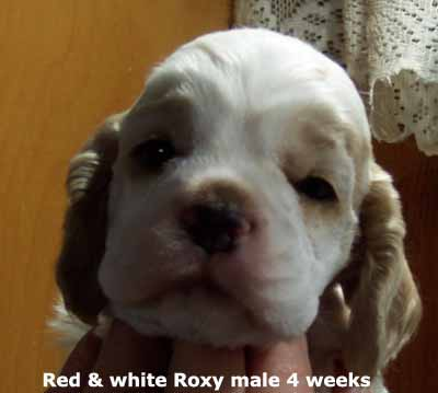 Roxy read and white male head 4 weeks